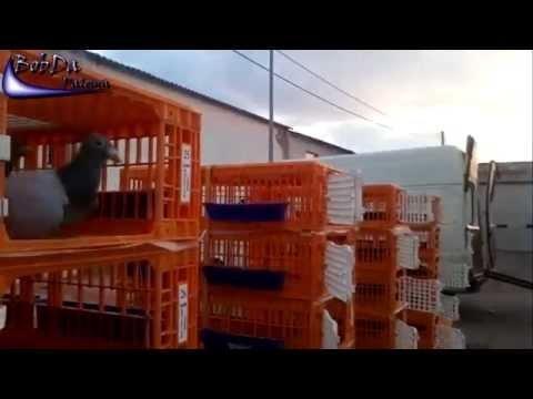 3.Concourse / 3.Konkurs / 3.Concurso [Lozoyuela, Madrid] 497 Pigeons/Brieftauben/Palomas 2012