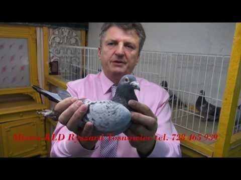 Caramba ! tajemnica łączenia w pary gołębi ...