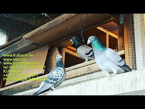 Racing Pigeons top quality tel +49 1511 290 1511
