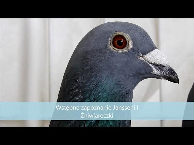 Hodowla użytkowa gołębi , porady Ryszarda tel. 728 465 939