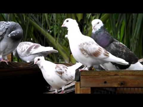 Young Pigeons Enjoy Loft Flying 2016
