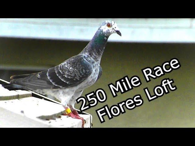 Flores Loft - 250 Miles - Pigeon Racing Young Birds 2019