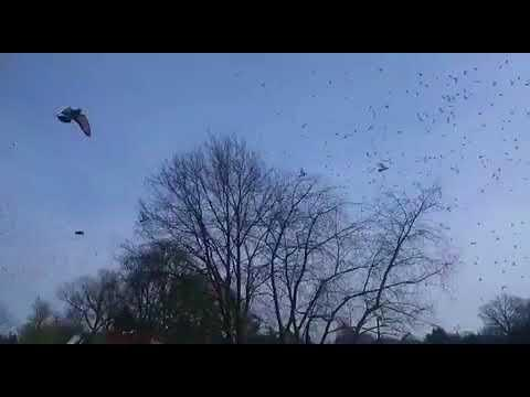 Kring 1, Boxtel, 7/4/18, 11.000 duiven