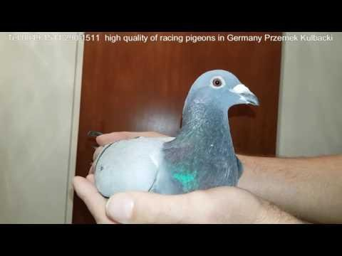 KULBACKI HIGH BREED RACING PIGEONS WORLDWIDE SHIPPING EVERY WEEK CO TYDZIEŃ WYSYŁKI 0049-15112901511