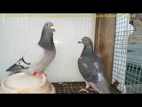 Parka dla hodowcy z Niemiec one pair for german breeder's from Champion Kulbacki