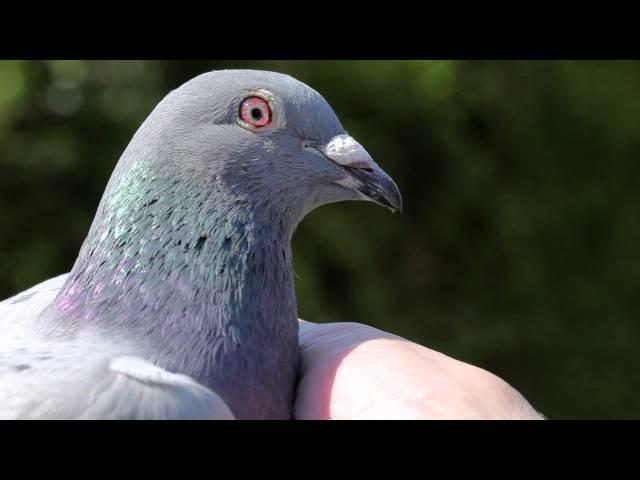 1st NPO Orléans 4,000 pigeons