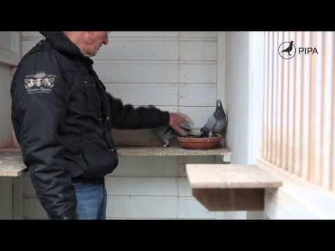 Koen Minderhoud (Koudekerke, NL) stelt zijn stam en De Geeloger, zijn beste duif ooit, voor