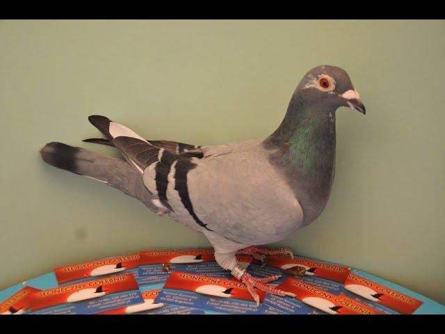 System lotów gołębi  Ryszarda poprzez Pocztex tel. 728 465 939