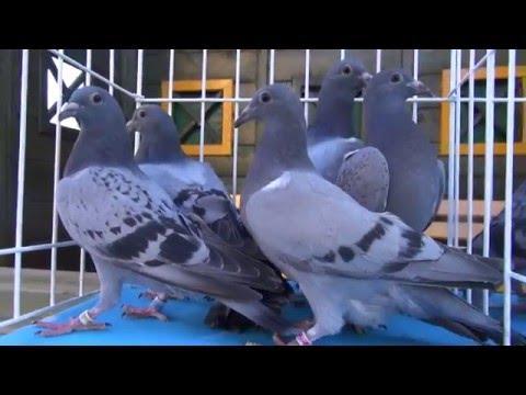 Wyżymacze i Vervoorty gołębie przestworzy...