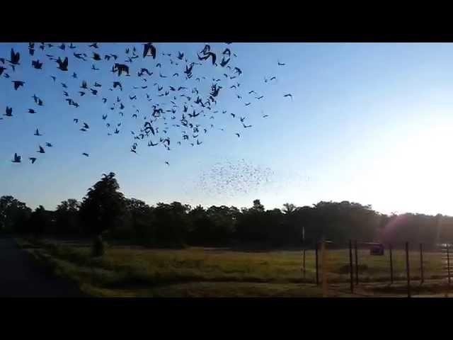 Brieftauben Auflass 6000 Polnische Tauben in Rathenow am 25.05.2014