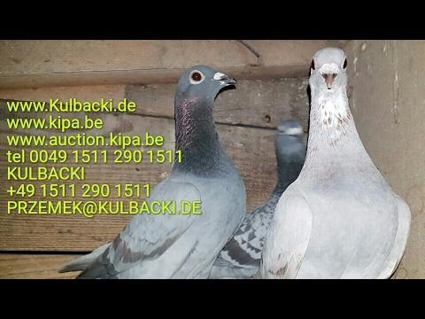 Gołębie na sprzedaż rasy Ramses De klak Janssen Krak.....tel 0049 1511 290 1511 Kulbacki.de Kipa.be