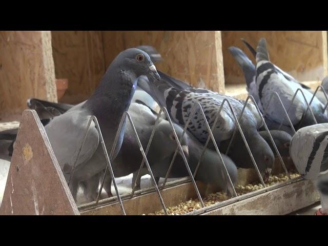 Wakacje z gołębiami ! D