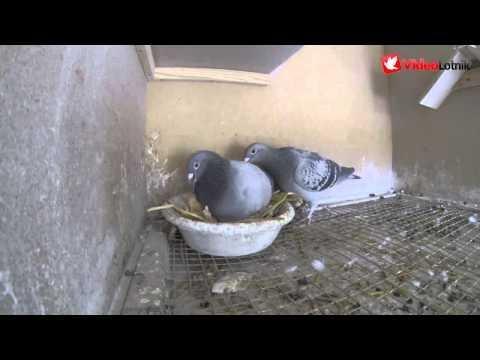 Wyklucie się gołębia i jego karmienie - Hatching and feeding