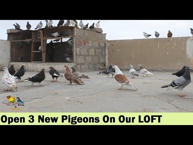 Afghan Sherazi Pigeon Aur Lal Onabi Kabootar Khol Diye Humne