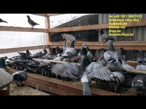 Slow-motion video Kulbacki racing pigeons yearlings tel 0049 1511 290 1511