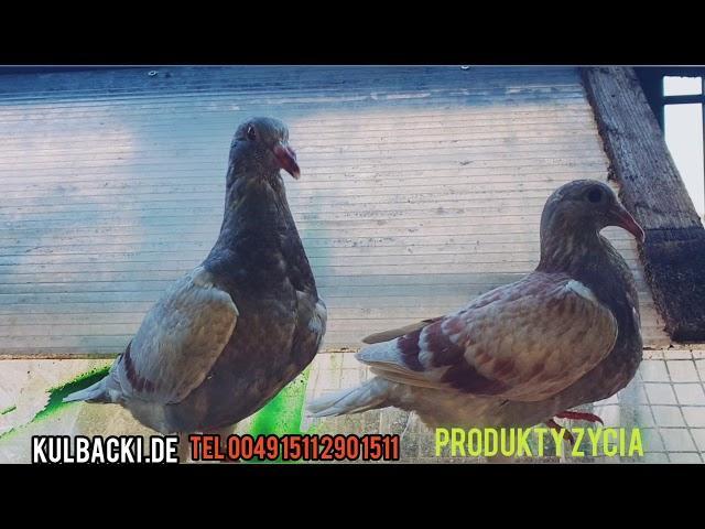Originalne Jansseny na sprzedaz po sławnym Championie czerwony vos Janssen original Arendonk
