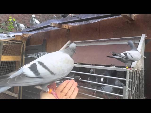 pigeons duiven  Brieftauben  pismanushat  Belg