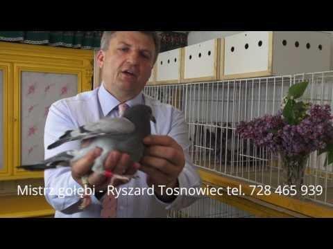 Tajemne gołębie dla Ciebie tel. 728 465 939
