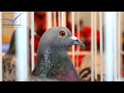 International Pigeon Market Kassel, Germany 2014 (Pigeon Slideshow Version)