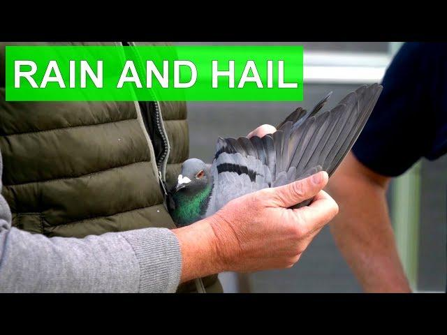 Vlog #33 Lightning fast hen wins 2nd prize against almost 10,000 #racingpigeons in heavy rain shower