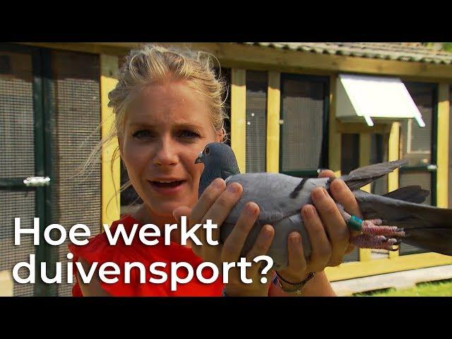 Hoe werkt duivensport?   Doen ze dat zo?   Het Klokhuis