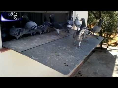 Cleaning Loft / Taubenschlag Putzen / Limpieza Palomar (Pigeons/Brieftauben/Palomas/Pombo) 2012