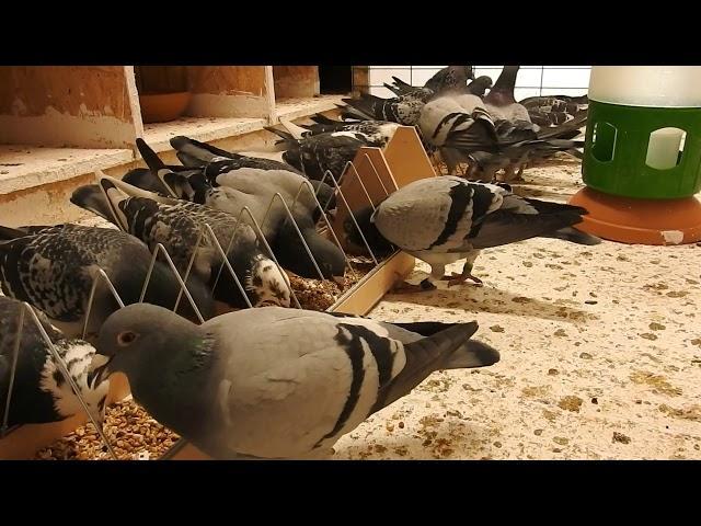 Z gołębiami w sobotę , fachowa opieka tel. 728 465 939