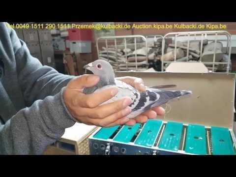 K U W A I T KUWAIT RACING PIGEONS K U L B A C K I tel +49 1511 290 1511