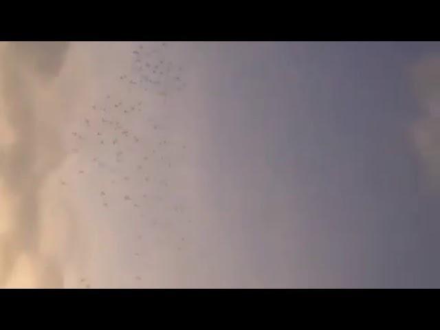 Suelta de camaguey en placetas,mas de 13k mil palomas,llegada de las palomas de esnel.