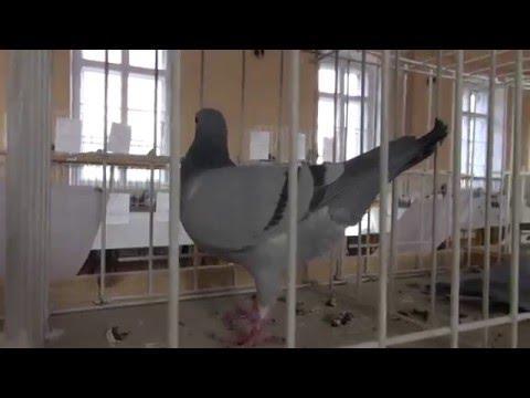 Filmik z wystawy gołębi w Lubomierzu 12 12 2015