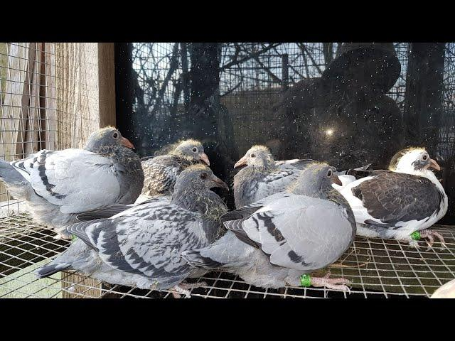 2.kwiecień 2018,młode gołębie na sprzedaz po super rozplodowych JANSSEN DOLCE VITA MEULEMANS VERBART