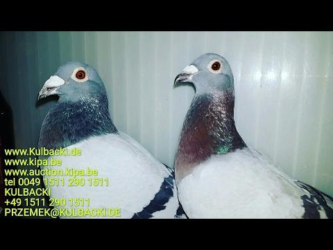 Następne wysyłki do Ameryki next shipping to USA KULBACKI CHAMPION PIGEONS BEST AROUND THE WORLD