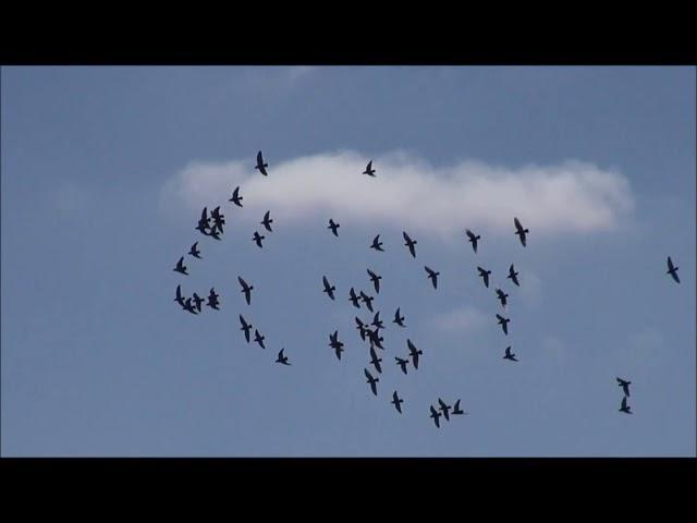 Lot młodych gołębi ze Szklarskiej Poręby 21 05 2018.
