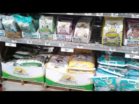 Gangster pigeon lives in bird seed aisle