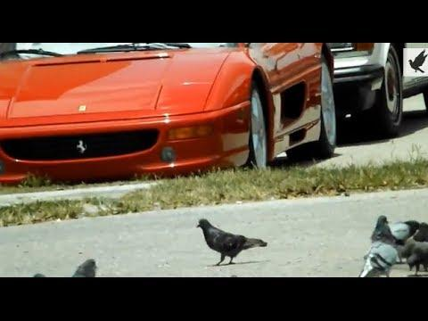Ferrari vs homing pigeons and scrubs in Naples Florida