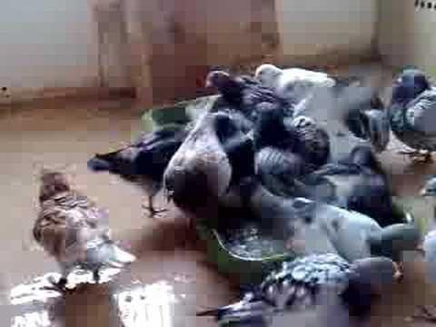 Kampioen jonge duiven 2008 in bad