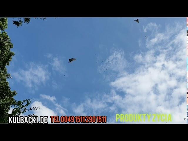 Zdrowe gołębie super wyniki, już za 2 tygodnie loty młodych!