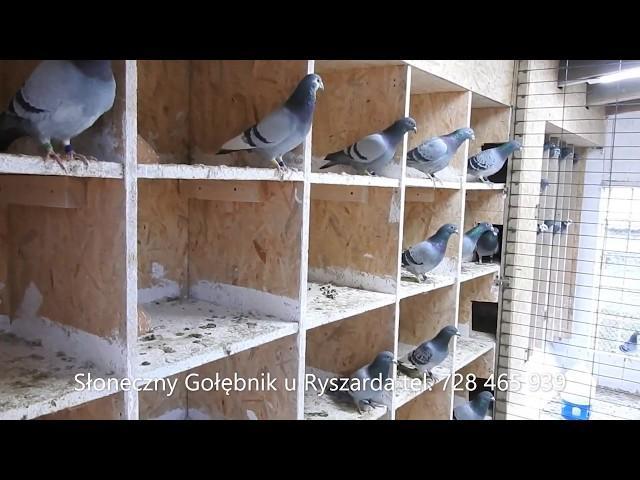 Wojenne gołębie , wdowce bojowe tel. 728 465 939