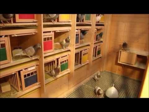racing pigeons - Brieftauben im Dezember (HD)