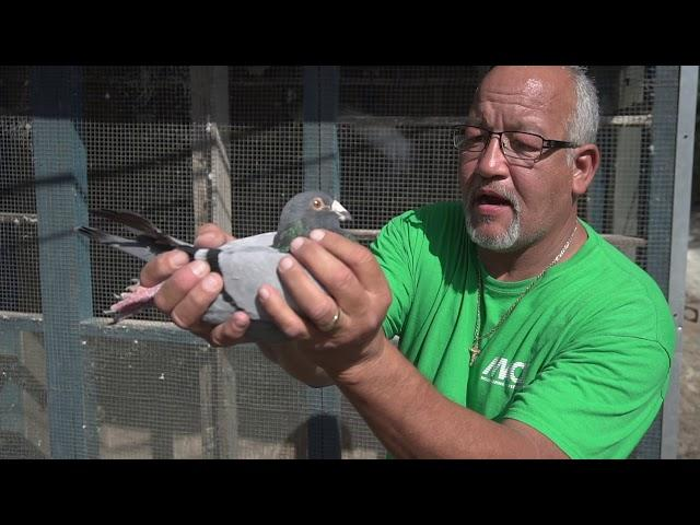 Racing Homers 3 key types of pigeons i fly!! Sprint. Mid. And long!!