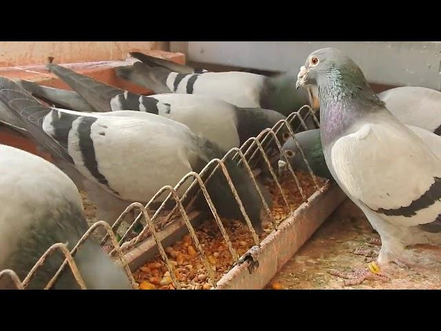 Karmienie gołębi Żniwiarzy...tel. 728 465 939