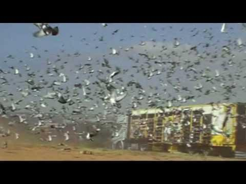 Barcelona International Pigeon Race2008  Slow Motion