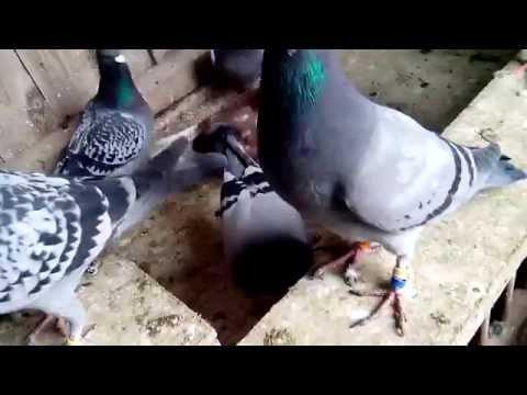 De jonge duiven pinda's leren eten