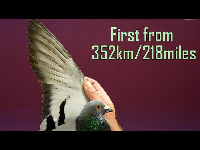 Vlog #62 Number 7 On 352km Race Against 6950 racing pigeons