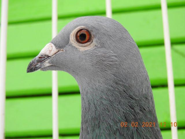 Żeniec i Żenisia gołębie przestworzy ! tel. 728 465 939