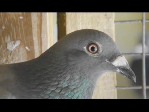 Pigeon Racing Secret! English + Espanol Secretos Colombofilia