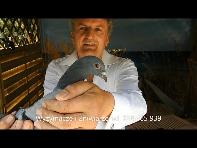 Tak szybkie gołębie to cud tel. 728 465 939