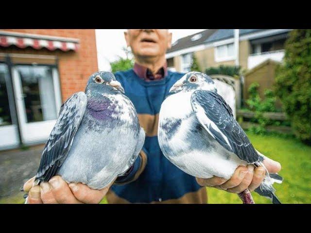 produkty dla golebi 100% Natura super wyniki i super zdrowe golebie jak nigdy