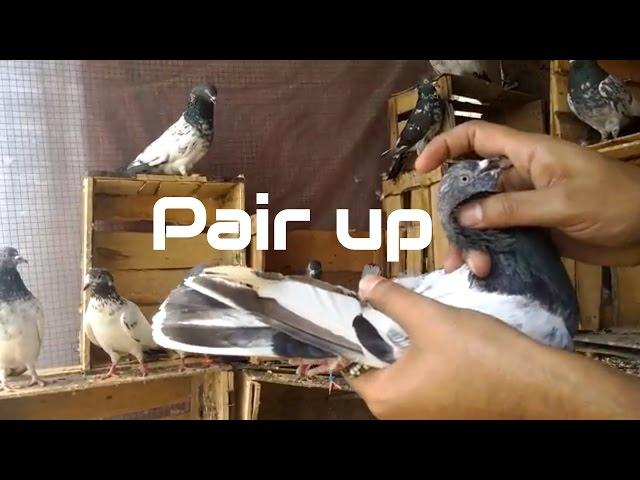 How to pair up pigeons - Successful Breeding Tips of  high flying Pigeons