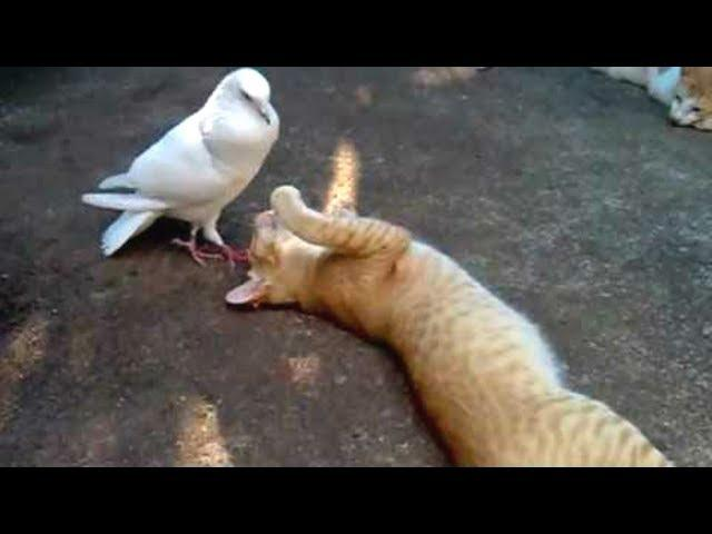 PIGEONS Are Such FUNNY BIRDS - Cute And Funny Pigeon Videos Compilation || NEW